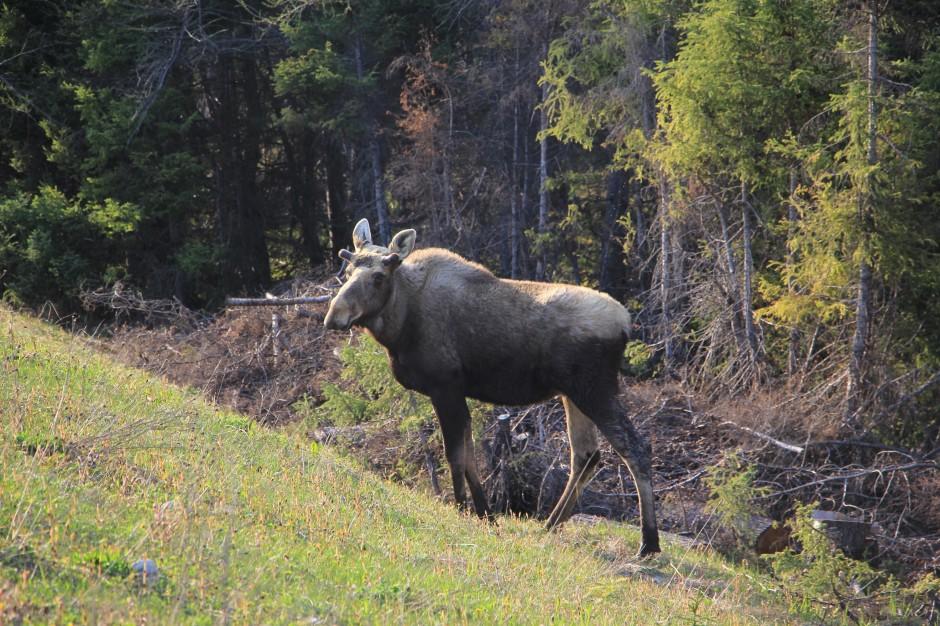 Moose gros morne